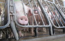 PHOTO: Three groups are suing the FDA over their approval of new combinations of growth enhancing drugs to be administered to millions of animals raised for food, including pigs. Photo courtesy Humane Society of the United States.