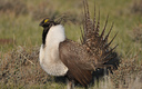PHOTO: A new poll shows 90 percent of Montana hunters surveyed back protection of greater sage-grouse habitat. The U.S. Fish and Wildlife Service will decide next year if the species will be listed under the Endangered Species Act. Photo credit: Jeannie Stafford/USFWS