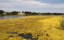 PHOTO: Advocates say weekly water-quality reports produced action and major funding to attack problems such as this algae bloom in East Hampton. Credit: M. Lindberg of TNC