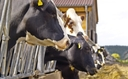 PHOTO: A so-called ag-gag law that's being challenged in Idaho and Utah has been introduced as legislation in Washington. It prohibits people from audio or video taping in agricultural production facilities without the owner's written permission.  Photo credit: derausdo/FeaturePics.com