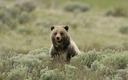 PHOTO: Federal approval for the killing of up to 15 grizzly bears in two areas of northwestern Wyoming is going too far, according to a planned lawsuit to protect the grizzlies. Photo courtesy of the National Park Service.