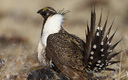 PHOTO: Wyoming's state-led plans to keep the greater sage-grouse off the endangered species list will be highlighted at the North American Wildlife and Natural Resources Conference today. Photo credit: U.S. Fish and Wildlife Service
