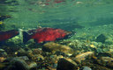 PHOTO: Coho salmon prefer to spawn in smaller streams, and water quality watchdogs are not convinced the EPA's new Clean Water Rule does enough to protect the fish from pollution. Photo courtesy Alaska Dept. of Fish and Game.