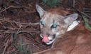 PHOTO: The future of the endangered Florida panther will be discussed at a meeting in Sarasota on Tuesday. Photo credit: Florida Panther Net.