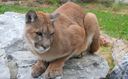 PHOTO: More than 200 cougars a year are killed by hunters in Washington. Animal rights' organizations are asking the state Fish and Wildlife Commission to change its recent decision to increase the cougar quota in some hunting units. Photo courtesy Wikimedia Commons.