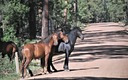 The Fate of free-roaming horses on Arizona public lands could be decided soon with the release of two government studies expected soon. Photo cedit: U.S. Forest Service.