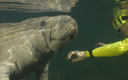 PHOTO: The public can weigh in this week on proposed restrictions on tourists swimming with endangered manatees at Crystal River National Wildlife Refuge in Citrus County. Photo credit: Durden Images/iStockphoto.com.