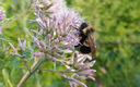 The rusty patched bumble bee used to be common in parts of the state, but has seen its population plummet in recent years. Courtesy: Rich Hatfield/The Xerces Society