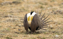 The U.S. Fish and Wildlife Service has decided protecting the greater sage-grouse under the Endangered Species Act is not warranted. Credit: Gdbeeler/iStockphoto
