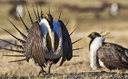 Greater sage-grouse habitat has been a great enough priority on public and private lands that the bird will not be listed as threatened or endangered. Credit: Bob Wick/BLM/Flickr (non-commercial use only)