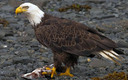 The bald eagle is a success of the Endangered Species Act. Credit: Yathin S Krishnappa/Wikimedia
