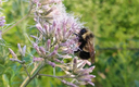 The rusty patched bumble bee used to be common in parts of the state, but has seen its population plummet in recent years. Credit: Rich Hatfield/The Xerces Society