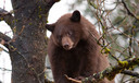 A new poll, conducted after the killing of Cecil the lion in Africa, finds a majority of U.S. voters also oppose trophy hunting for bears in the United States in places such as Maine. Courtesy: HSUS
