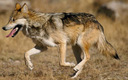 Scientists and wild animal advocates are calling on federal authorities to release at least five packs of Mexican gray wolves into New Mexico's Gila National Forest to preserve the endangered species. Credit: Jim Clark/USFWS.