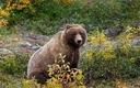 Grizzly bear. Credit: skeeze/pixabay
