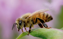 Maryland has seen dramatic drops in bee numbers. (PANNA)