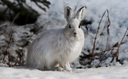 The snowshoe hare hasn't been seen in Maryland since the 1980s, and a new report says its habitat continues to shrink as a result of the changing climate. (Defenders of Wildlife)