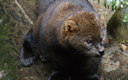 The Pacific Fisher survive mainly in southern Oregon, but are threatened by logging and illegal marijuana grows.  (U.S. Fish and Wildlife Pacific Southwest Region)