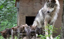 Two pups born to Mexican gray wolves at the Endangered Wolf Center in Missouri were recently introduced into a wild den in New Mexico. (Endangered Wolf Center)