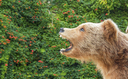 Trophy hunting for grizzly bears in Wyoming could begin next year if the U.S. Fish and Wildlife Service removes the Yellowstone grizzly from the endangered species list. (ba11istic/iStockphoto)