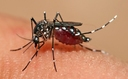 Texas public health officials say the aedes aegypti mosquito is the primary carrier of the Zika virus, which could reach Texas as soon as June or July. (Wikimedia Commons)
