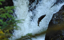 A federal appeals court has ruled that Washington state must repair culverts blocking salmon from swimming to upstream habitats. (Matthew_Hull/morguefile)