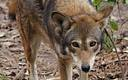 PHOTO: North Carolina's population of 100 red wolves on a small peninsula near Columbia, NC, are the only ones in the wild on the continent. Photo courtesy Red Wolf Coalition\