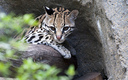 PHOTO: Droughts driven by climate change are already threatening the reproductive health of ocelots and sea level rise is expected to wipe out some of the ocelot's coastal habitat. Photo credit: Mike Fisher