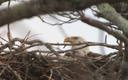 PHOTO: The presence of this nesting bald eagle and its mate has been confirmed by Nature Conservancy staff, inside the Mashowmack Preserve on Shelter Island. Photo credit: Derek Rogers, used with permission of The Nature Conservancy.