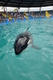 "PHOTO: Today is the last chance for public comments on the release of ""Lolita,"" a former Washington orca who has performed for more than 40 years at the Miami Seaquarium. Photo courtesy Animal Welfare Institute."