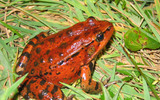 PHOTO: Gov. Jerry Brown signed legislation on June 28 that makes the California Red-Legged Frog the state's official amphibian. Photo credit: Jamie Bettaso.