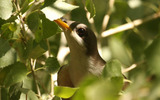 PHOTO: Over 500,000 acres of public land in several western states could receive protections from the federal government for the yellow-billed cuckoo, which is also being considered for endangered species designation. Photo credit: Lower Colorado River Multi-Species Conservation Program.