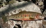 PHOTO: Conservation of west-slope cutthroat trout habitat connected to Tenderfoot Creek is one of the case studies in a new report about how Land and Water Conservation Fund projects benefit local recreation economies. The report also calls for the fund to be reauthorized at its full amount next year. Photo credit: National Park Service
