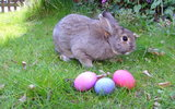 PHOTO: Despite yearly warnings, many parents buy Easter gifts of baby bunnies and chicks for sale in many pet stores and online on sites like Craigslist, but animal advocates caution that when the novelty wears off, there are limited options. Photo credit: Hihih Krulik/Wikipedia