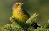 Photo: Palm warblers are among the birds migrating between Canada's boreal forest and Florida every winter. Photo credit: Jeff Nadler