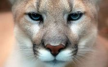 Opponents of mountain lion hunting in Nebraska contend the animals play a vital role in the ecosystem. (Art G./Flickr)