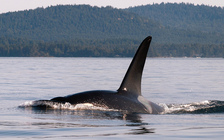 Northwest orcas are suffering from a lack of food, particularly salmon. (Ingrid Taylar/Flickr)