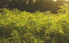 Since North Carolina launched its hemp pilot program in 2015, the state's CBD oil industry has boomed. (Adobe Stock)