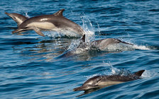 Long-beaked common dolphins are one species often caught in drift gillnets, which are being replaced on the West Coast with safer fishing gear. (Chad King/NOAA)