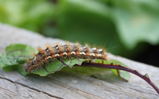 Browntail moth cocoons can be found on the outsides of buildings and vehicles, on outdoor equipment, plant stems, branches and foliage. (Robirensi/Adobe Stock)<br />