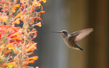 PHOTO: Hummingbirds, beetles, flies, bees and wasps are being saluted for National Pollinator Week. Photo credit: Deborah C. Smith
