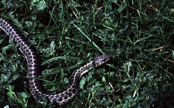 PHOTO: The narrow-headed garter snake and the northern Mexican garter snake, which live in Arizona and New Mexico, are now officially listed as threatened species under the Endangered Species Act. Photo courtesy of the National Park Service.