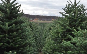 PHOTO: Michigan tree growers are hoping for host state luck this year, as the nation's top Christmas tree growers meet in Allegan to compete for the honor of providing this year's official White House Christmas tree. Photo courtesy of the Michigan Christmas Tree Association.