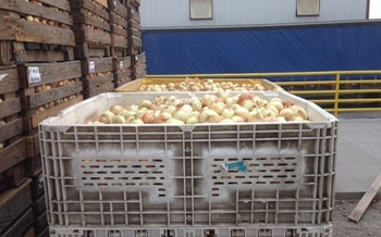 PHOTO: Oregon Food Bank picks up 1,000-pound bins of onions every other week from River Point Farms in Hermiston, for distribution to emergency food pantries across the state. Photo courtesy River Point Farms.