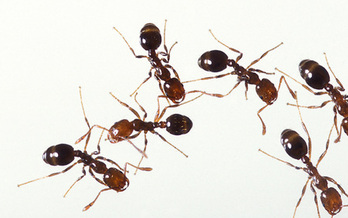 PHOTO: Fire ants are a non-native species threatening more areas of North Carolina. Scientists say that's due in part to warmer temperatures. Photo courtesy National Wildlife Federation
