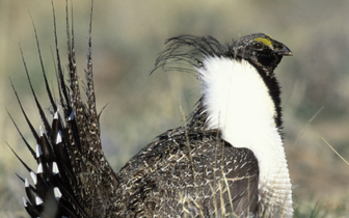 PHOTO: Agriculture and conservation groups are reaching out to the oil and gas industry to collaborate to keep the greater sage grouse off the Endangered Species list. Photo credit: U.S. Fish and Wildlife Service/Gary Kramer.