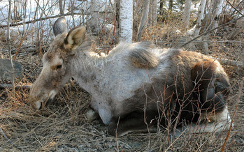 PHOTO: Moose infected with winter ticks are often called