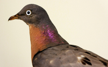 PHOTO: Monday is the anniversary of the extinction of the passenger pigeon. The bird once numbered around 5 billion in North America. Photo credit: Tim Lenz/Flickr.