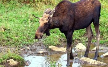 PHOTO: A new report from the National Wildlife Federation finds winter ticks are becoming more abundant in New Hampshire, in part because of less severe winters. The ticks pose a threat to the depleted New England moose population. Photo credit: Paul Anderson/Morguefile.