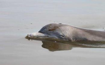 PHOTO: Four years after the Gulf oil disaster, dolphins and sea turtles are still dying in high numbers in areas affected by the oil. Photo credit: Mandy Tumlin, Louisiana Department of Wildlife and Fisheries.